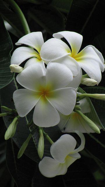 ~✿✿✿~ Frangipani (Plumeria) ~✿✿✿~